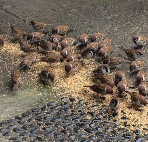 小鳥の病院の庭でたくさんのすずめがエサを食べている画像