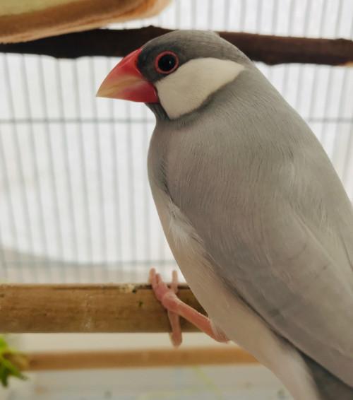 シルバー文鳥メスの画像